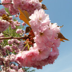 Japanese-cherry-tree-1