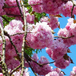 Japanese-cherry-tree-2-close