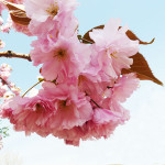 Japanese-cherry-tree-3