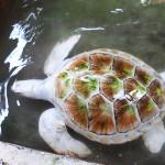 albino-sea-turtle-2