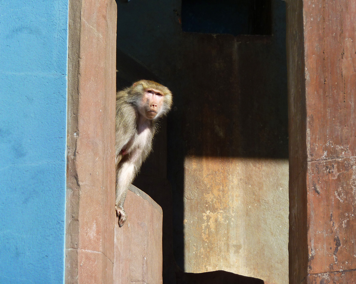 baboon-in-zoo-great-picture