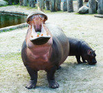 hippo-and-hippo-baby