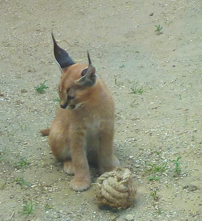 caracal-kitten
