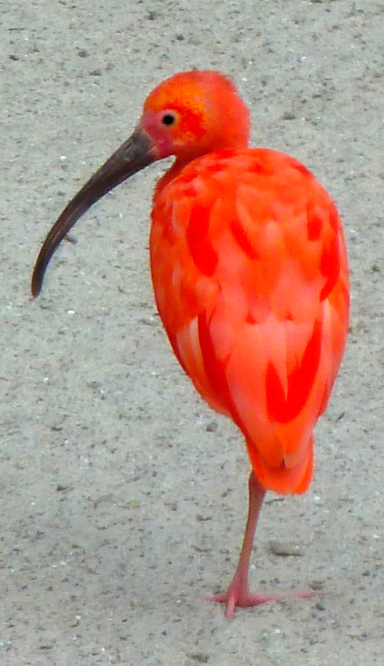 red-ibis