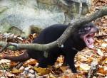 Hissing Tasmanian devil