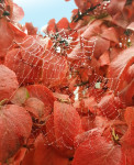 Fall picture with dewdrops in spider web