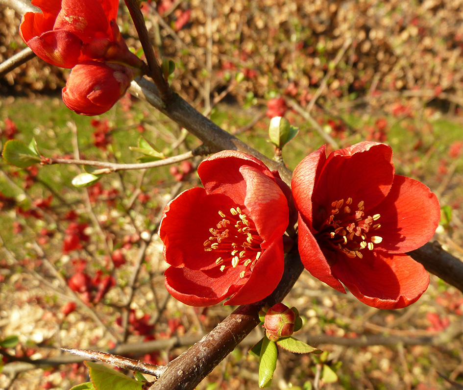 beautiful-red-flowers-in-spring