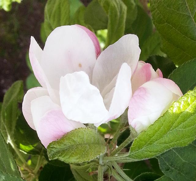 apple-flower-1