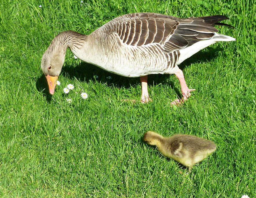 goose-and-gestling