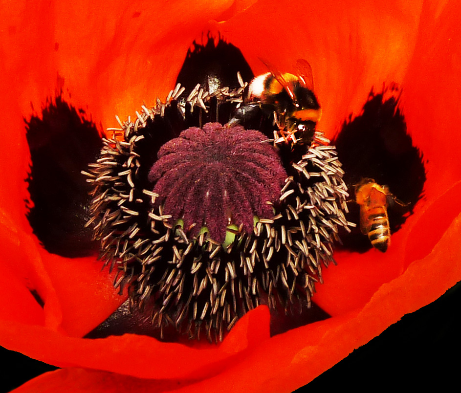 dark-red-poppy-with-bees