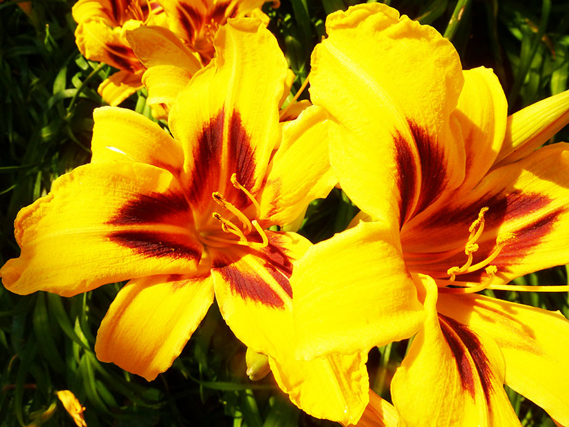 Red yellow lily