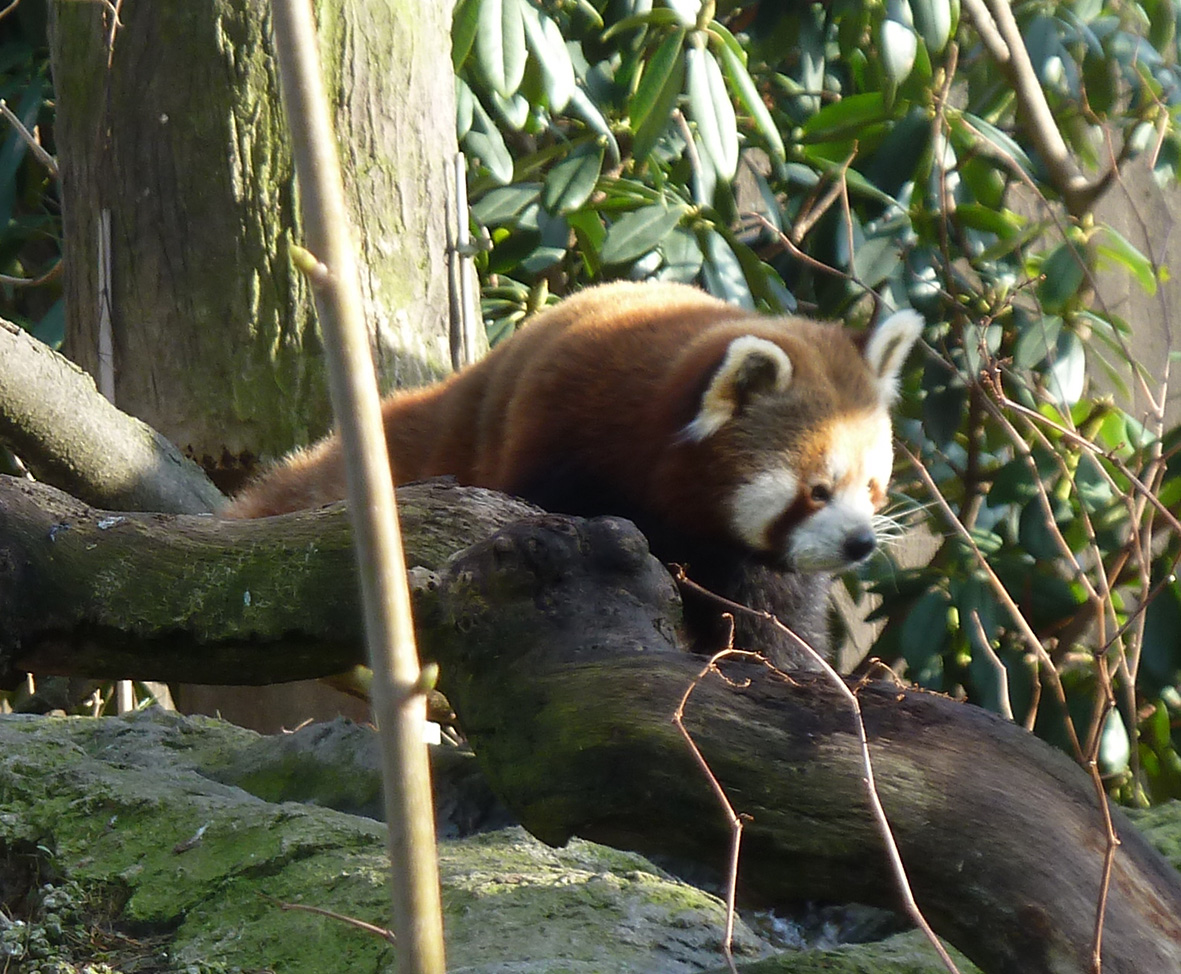 photo of red Panda