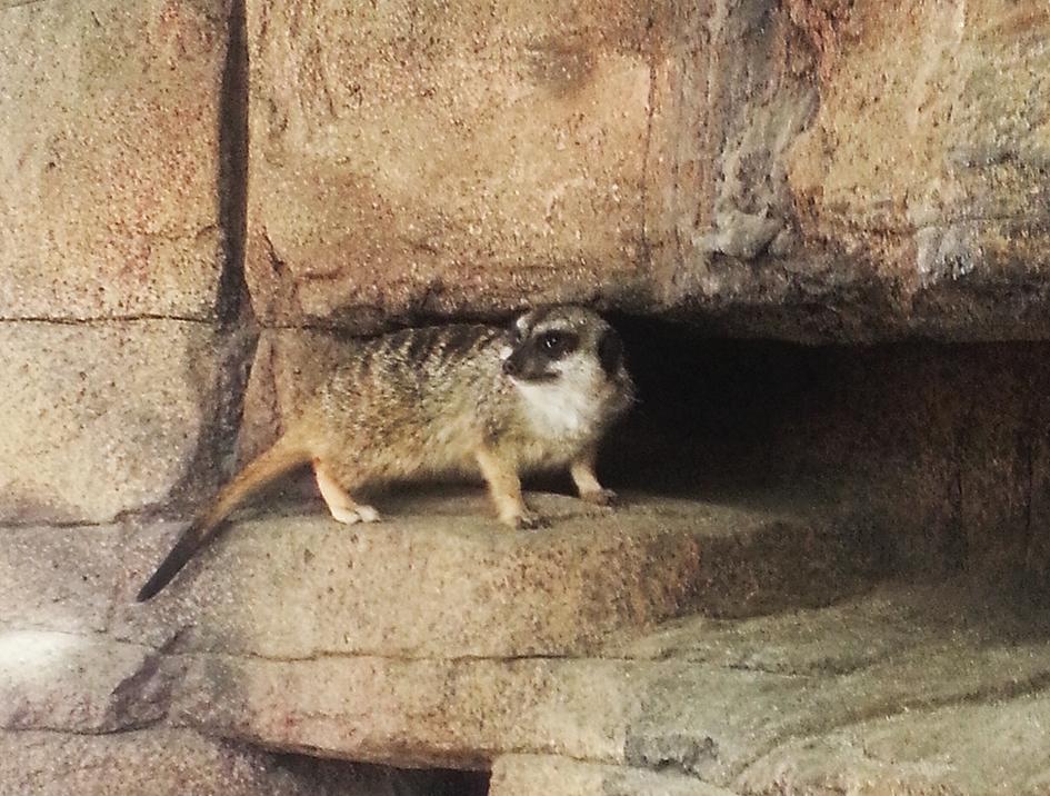 Slendertailed meerkat
