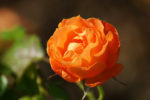 Wonderful rose photo