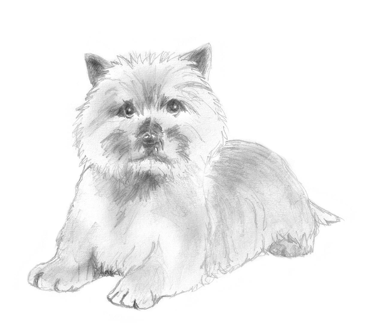 Sketch of Cairn terrier