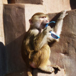 baboon-with-sunglasses-blue