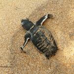 baby-sea-turtle-hatching