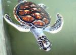 Female sea turtle