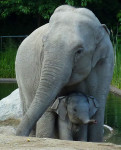 adorable elephant baby and mother