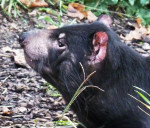Tasmanian-devil-1