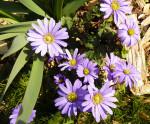 blue-spring-flowers