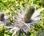 picture-of-thistle