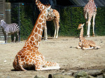 giraffe-pictures-laying-down