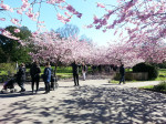 pink-chinese-cherry-flowers