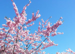 pink-flowers-against-the-blue-spring-sky