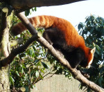 Picture of lesser panda