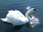 Magical swan with stars