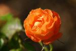 Wonderful rose photo